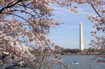 Cherry blossoms surrounding the Tidal Ba